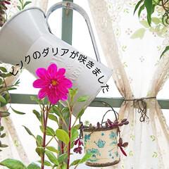 ダリア/庭/花のある生活/花のある暮らし/花/ガーデニング初心者/... 今日のマイガーデン🌼✨ 綺麗なピンクのダ…