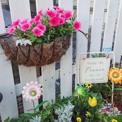 花のある風景/花のある暮らし/花/玄関前/玄関アプローチ/ペチュニア/... 玄関アプローチです😌💓  花壇の上にペチ…