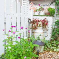 玄関アプローチ/DIYアプローチ/DIYガーデン/花のある生活/花のある暮らし/花/... 玄関アプローチで育てて育てている千日紅が…