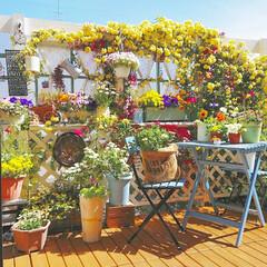 満開/コデマリ/モッコウバラ/春の花/花/花のある生活/... 先日晴れた日のpicです😌 モッコウバラ…