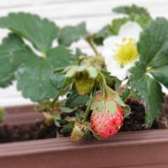 果物/花のある生活/花のある暮らし/お花/植物/いちご/... 昨年から育ててるいちご🍓✨  今年は何だ…