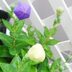 キキョウ/ガーデニング初心者/ガーデニング/マイガーデン/花のある生活/花のある暮らし/... キキョウの花が咲く前 風船みたいに膨らん…