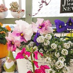 ウッドデッキ/ナチュラルガーデン/マイガーデン/お花のある生活/お花のある暮らし/お花/... ウッドデッキに咲いている パンジービオラ…