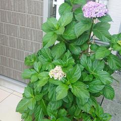 玄関/花のある生活/花のある暮らし/花/アジサイ/紫陽花/... 玄関の横に植えてる紫陽花が咲き始めました…