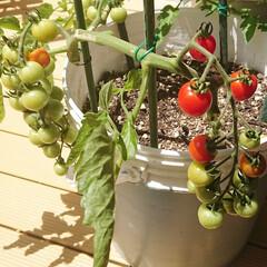 ガーデン/マイガーデン/ガーデニング/ガーデニング初心者/家庭菜園/トマト/... 今朝のpicです🍅  庭で育ててるトマト…