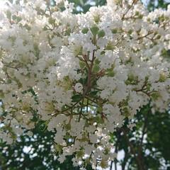 芙蓉/百日紅/紫陽花/ハイドランジア/白い花の盛り/暮らし ハイドランジアが咲く梅雨が近いですね。白…(3枚目)