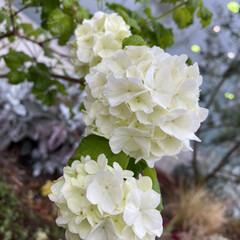 芙蓉/百日紅/紫陽花/ハイドランジア/白い花の盛り/暮らし ハイドランジアが咲く梅雨が近いですね。白…(1枚目)