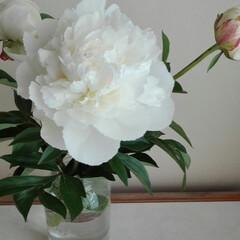 芙蓉/百日紅/紫陽花/ハイドランジア/白い花の盛り/暮らし ハイドランジアが咲く梅雨が近いですね。白…(2枚目)