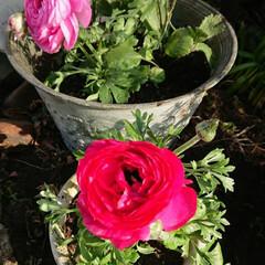 花空間/春らしい/ガーデニング/住まい/暮らし 昨日が寒くて心配しましたが、 お花はキレ…