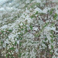 ガーデニング/花のある暮らし/住まい/暮らし 雪が降っているみたいに 細かな白い花が …