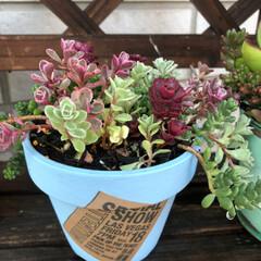 リメ鉢/セダムの寄せ植え セダムの寄せ植えも、リメ鉢に植えかえ💕💕