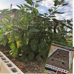 まだまだ採れます/とっても元気/長ナス/家庭菜園 おはようございます😊 5月に植えた野菜の…