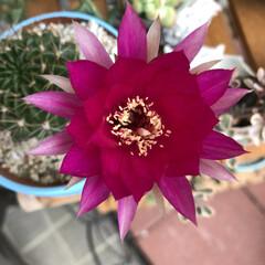 やっと咲きました/サボテンの花 咲いたよ〜💕💕💕 7月に続いて、二輪目の…