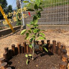 みかんの木 1週間くらい前に植えたみかんの木🍊🍊🍊 …
