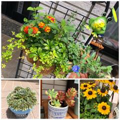 多肉/梅雨の晴れ間/ガーデニング/ダイソー やっと晴れ間が〜🌤 庭の花や緑もイキイキ…