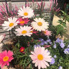 カンパニュラ/マーガレット/寄せ植え ホームセンターの園芸コーナーは朝から賑わ…