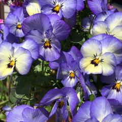 寄せ植え/花/ビオラ 大好きな色
