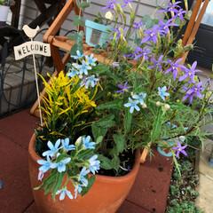 水色の花/寄せ植え/ガーデニング 水色の花が可愛くて一目惚れ💙 オキシペタ…