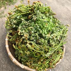 山菜/わらび 先週に引き続き、またまた山へ〜 今日の収…