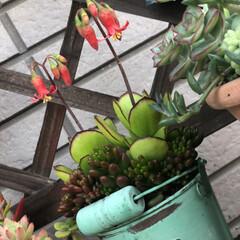 花が咲きました/タコさんウインナー/多肉植物 おはようございます😊 昨日は暑かったぁ☀…