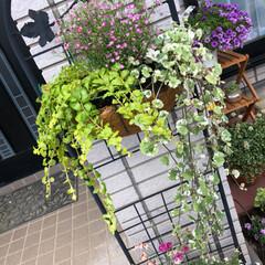 ピンクかすみ草/ハンギング/ガーデニング いい天気です☀️ 今日もせっせと玄関周り…