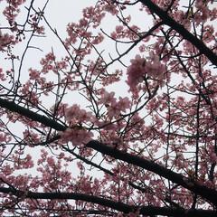 桜/ピンク 近くの公園で撮ったものです。去年のもので…