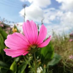花/秋桜/コスモス/秋 家から歩いてすぐのところでは毎年コスモス…