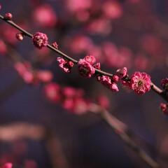 ピンク/梅/梅の花 ひな祭りに欠かせない梅の花もピンクで可愛…
