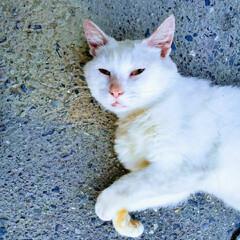 白雪姫/ねこ/白猫 しろねこ(♂️)
