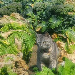 まーちゃん/ねこ/畑/野菜 畑のまーちゃん🐱 最近は外で、はしゃぐま…(1枚目)
