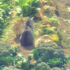 まーちゃん/ねこ/畑/野菜 畑のまーちゃん🐱 最近は外で、はしゃぐま…(8枚目)