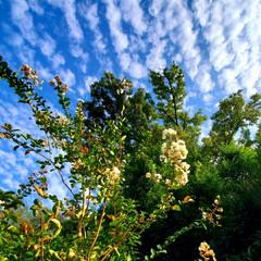 百日紅/うろこ雲/空 うろこ雲☁️ 今日の午後、晴れてきて、百…