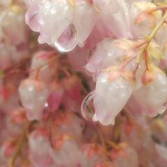 アセビ/雨/雫/花 色褪せたアセビを潤す雨(3枚目)