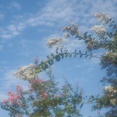 百日紅/うろこ雲/空 うろこ雲☁️ 今日の午後、晴れてきて、百…(2枚目)