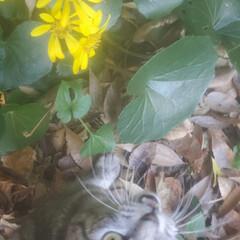 ねこ/まーちゃん/初冬/ツワブキ/花 見つけたよ、🐱🌼 ツワブキっていうんだっ…(2枚目)