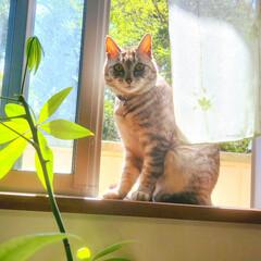 植物/緑/パキラ/窓/ねこ/まーちゃん 🔆🔅🌳🌿4月・窓・猫・そよ風🍃🔅🔆