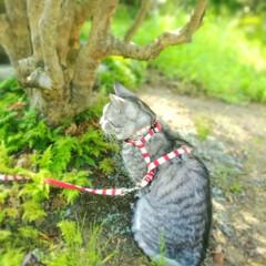 まーちゃん/ねこ まぁ散歩 🌿シダとこけ 木陰の世界(3枚目)