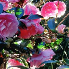 山茶花 山茶花の盛り