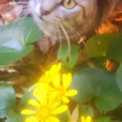 ねこ/まーちゃん/初冬/ツワブキ/花 見つけたよ、🐱🌼 ツワブキっていうんだっ…(4枚目)