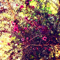 御柳梅/花 ギョリュウバイ  秋から咲き始めてるけど…(4枚目)