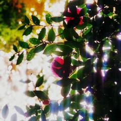 花/秋/山茶花 さざんかの花が咲きました。