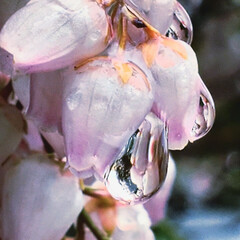 アセビ/雨/雫/花 色褪せたアセビを潤す雨(8枚目)