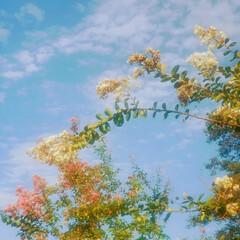雲/秋/空/けやき/百日紅 ☁️秋の空と木々と花