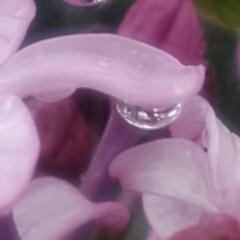 ライラック/リラ/花/雨/春/紫丁香花 🌧️ライラック 紫丁香花 (むらさきはし…(4枚目)
