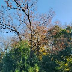 落葉/風/欅/紅葉/秋 昨日からの風で、昨日の朝焼けの写真からは…