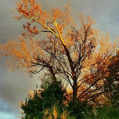 秋/空/欅/夕暮れ 欅と秋の空