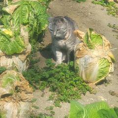まーちゃん/ねこ/畑/野菜 畑のまーちゃん🐱 最近は外で、はしゃぐま…(2枚目)
