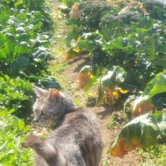 まーちゃん/ねこ/畑/野菜 畑のまーちゃん🐱 最近は外で、はしゃぐま…(3枚目)