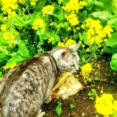 まーちゃん/ねこ/菜の花/花/春 まーちゃんと菜の花 (2枚目)
