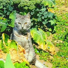 まーちゃん/ねこ/畑/野菜 畑のまーちゃん🐱 最近は外で、はしゃぐま…(4枚目)